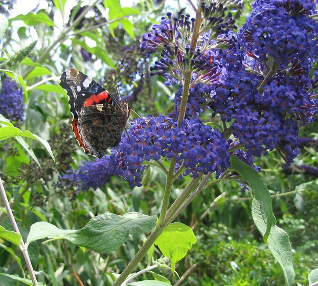 Butterfly and Buddleia