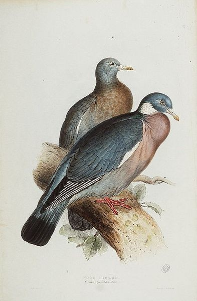 Wood Pigeons by Edward Lear