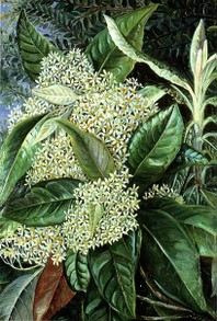 Olearia argophylla by Marianne North