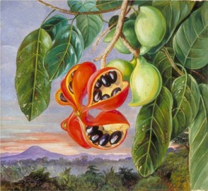Foliage and Fruit of Sterculia parviflora by Marianne North