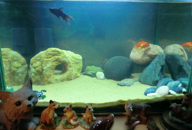 Image: Scathach and Morwen in their clean goldfish tank