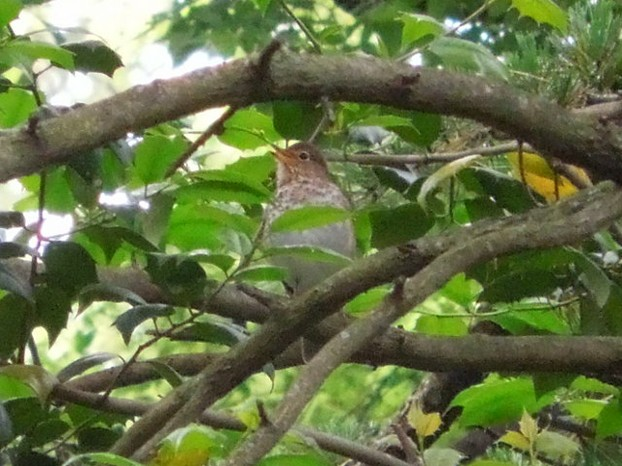 Swainson's Thrush in an American Holly