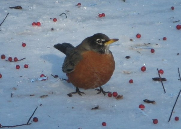 An American Robin Eating Holly Berries in Winter