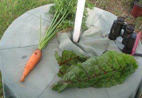 Pretty Good Sized Carrot for a Container-Grown