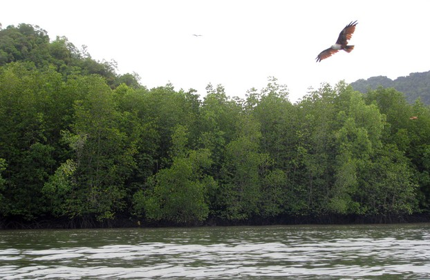 Eagles above the Kalim River