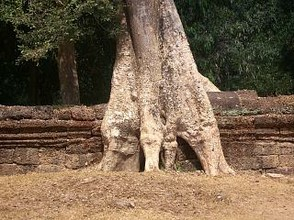 Tree Roots at Ta Prohm