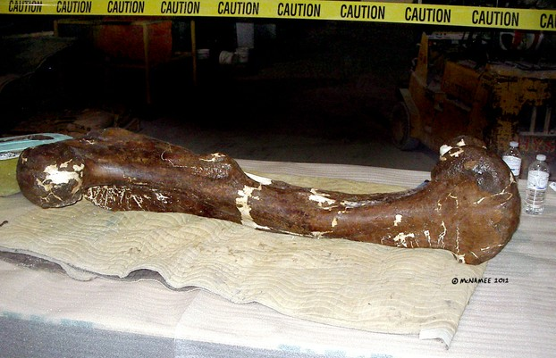 The actual fossilized femur of a T-rex is amazingly huge. Compare it to the two plastic water bottles!