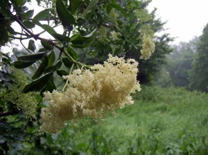 Elderflowers in the Rain on Hampstead Heath, London
