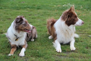 Red Merle and Red and White