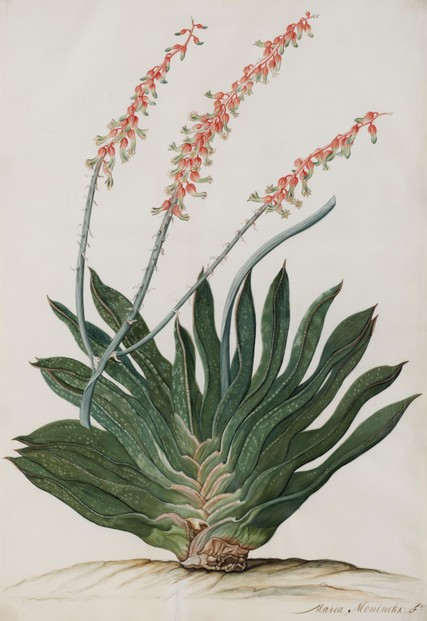 Gasteria nigricans (Haw.) Duval: c1686-1702 illustration by Maria Moninckx