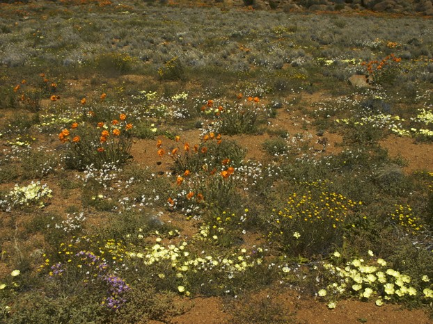 flowering desert landscape, homeland of Gasteria disticha: Goegap Nature Reserve, Succulent Karoo Biome, Northern Cape
