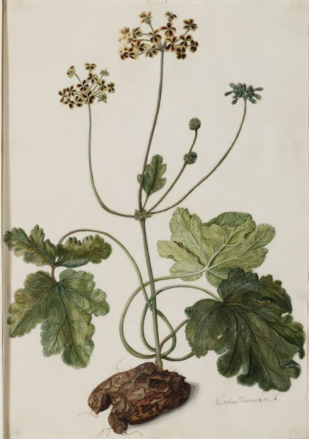 Pelargonium lobatum (Burm.f.) Willd.: c1698-1700 illustration by Maria Moninckx
