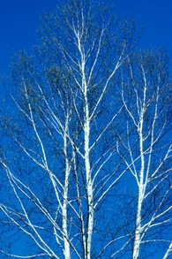 paper birch in January