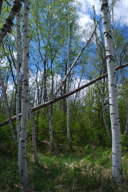 stand of paper birch (Betula papyreus), Milwaukee River Tamarack Lowlands and Dundee Kame State Natural Area (no. 256)