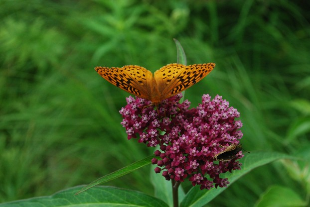 Great Spangled Fritillary (Speyeria cybele) on Swamp Milkweed (Asclepias incarnata)