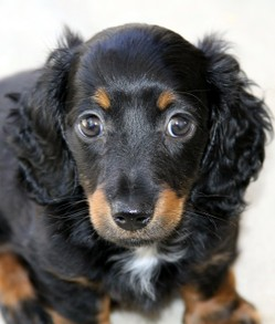 Long haired Dachshund Puppy