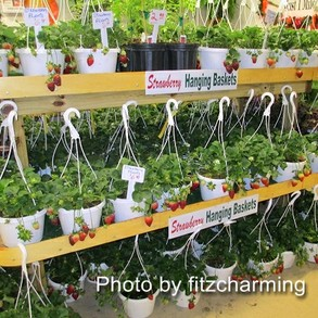 Strawberry hanging baskets