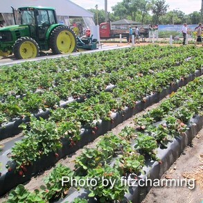 Plant City Strawberries Growing