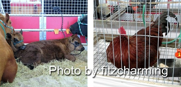 Plant City Strawberry Festival Livestock