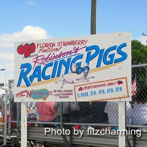 Plant City Racing Pigs