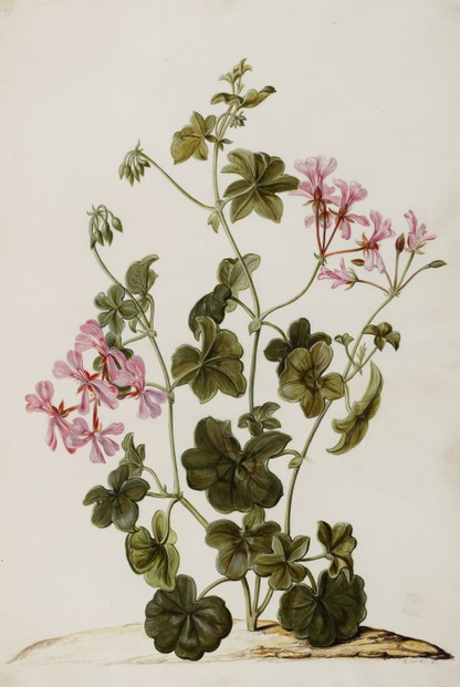 Ivy-Leafed geranium: c1701-1702 illustration by Jan Moninckx