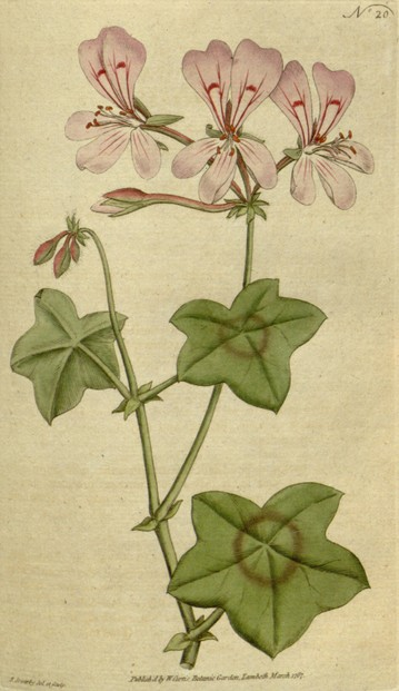 "illustration of ""Geranium Peltatum Ivy-Leaved Geranium"" by James Sowerby (March 21, 1757–October 25, 1822)"