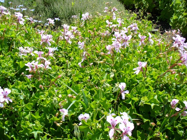 beautiful vista of Pelargonium peltatum in gardens: Kirstenbosch Gardens, Cape Town