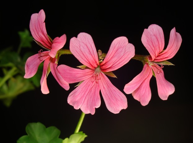 Pelargonium peltatum: also known as balcony germanium because its popular hybrids and cultivars flourish as ornamentals