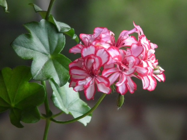 flowers and leaves of Pelargonium peltatum hybrid cultivar, Maşukiye, northwestern Turkey