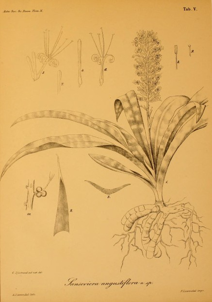 1875 drawing of Sansevieria hyacinthoides as synonymous Sansevieria angustifolia for Sextus Otto Lindberg's description