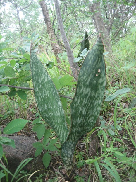 sturdy leaves of vigorous form of Sansevieria hyacinthoides, Guro district, western Mozambique