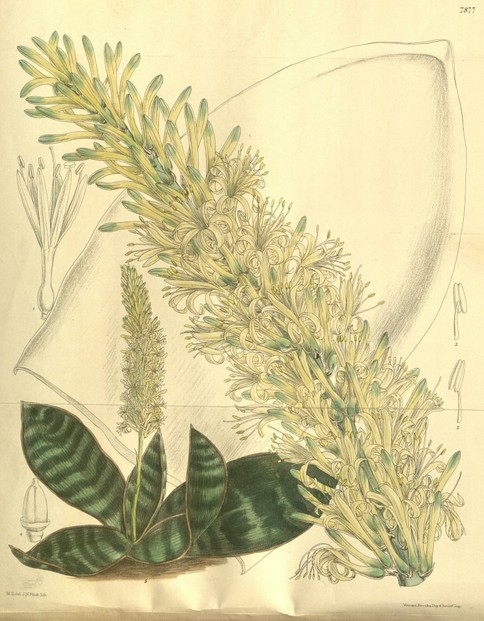 illustration of Sansevieria hyacinthoides, as synonymous Sansevieria grandis, by John Nugent Fitch (1840–1927)