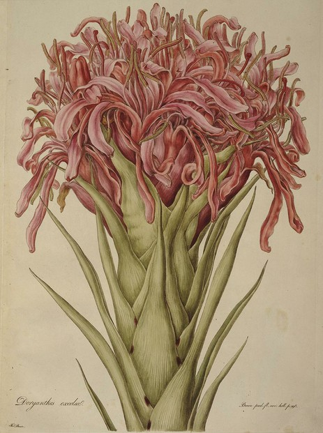 Gymea lily (Doryanthes excelsa): one of Ferdinand Bauer's most famous watercolors from Australia expedition 1801-1803