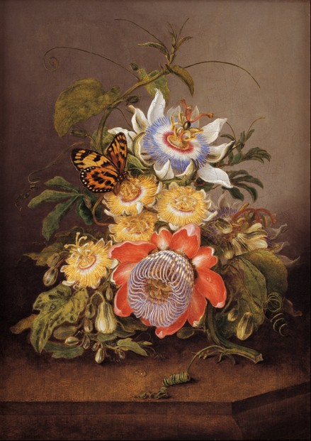 """Passionflowers"", 1812 oil on wood panel by Ferdinand Bauer ~ Art Gallery of South Australia, Adelaide"