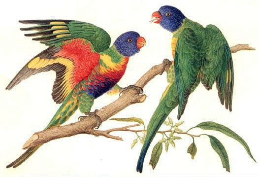 rainbow lorikeet (Trichoglossus haematodus):  Ferdinand Bauer's watercolor from Australia expedition 1801-1803