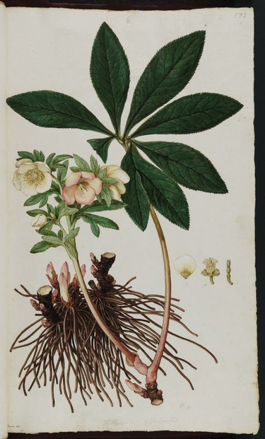 Hellebores officinalis: watercolor by Ferdinand Bauer from John Sibthorp's east Mediterranean survey March 1786-December 1787