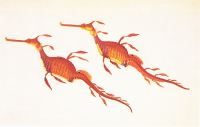 Phyllopteryx taeniolatus, the Weedy Sea Dragon: Ferdinand Bauer's watercolor from Australia expedition 1801-1803
