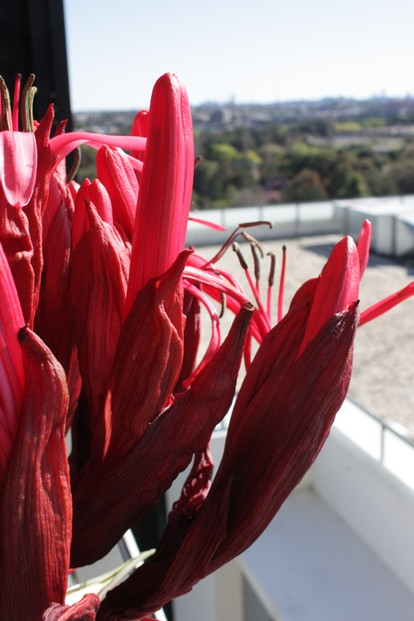 closeup of Gymea lily floral clusters, Sydney