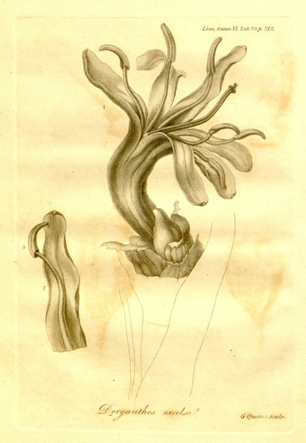 1: whole flower; 2: lacinia of corolla with filament; 3: Anther extinctoriiformis, after foecundation
