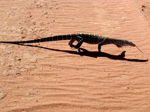 perentie in Red Centre, southern Northern Territory, central Australia