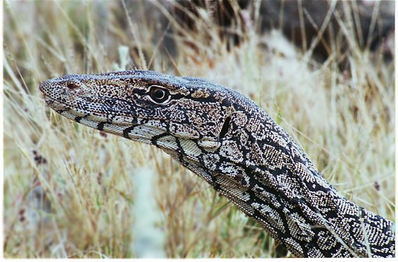 Closeup of perentie's head, in wild near 17-Mile Quobba Station, on coast about 100 miles from Canarvon, West Australia