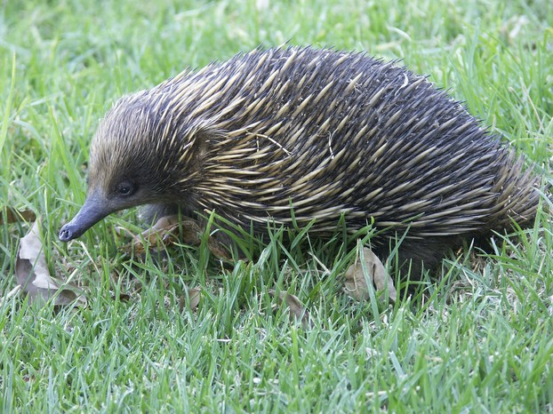 short-nosed echidna (Tachyglossus aculeatus): should be removed by perenties from their prey list