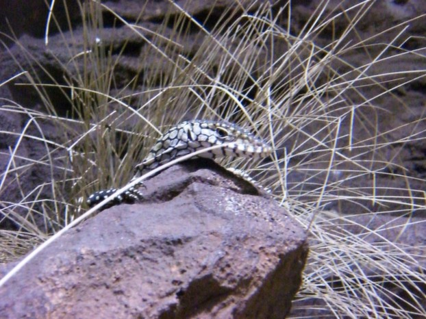 baby perentie, cautiously inquisitive ~ Wild Life Sydney, Darling Harbour, southeastern New South Wales