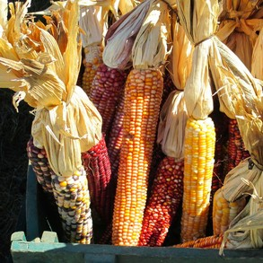 Colorful Indian Corn