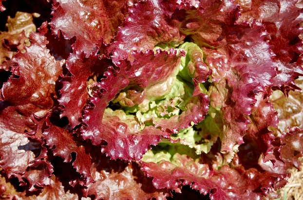red leaf lettuce: brightening garden and table
