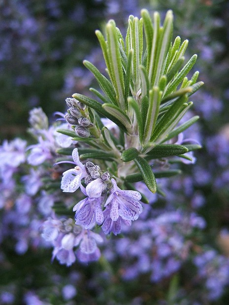 flowering rosemary: flowers are sweeter than the leaves, which are mainstays of Italian and Mediterranean cuisine.