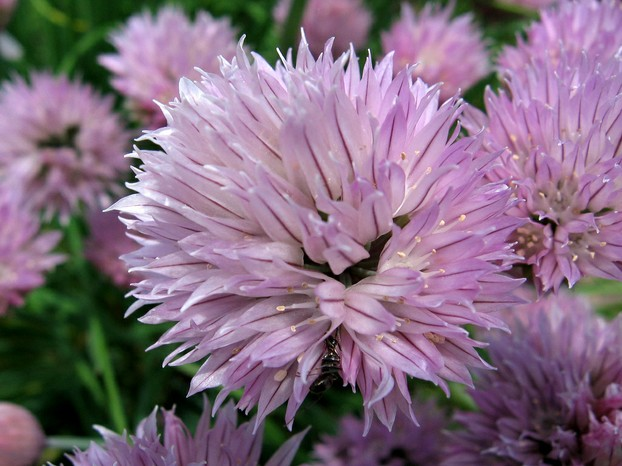 Allium schoenoprasum flower: known commonly as the herb chives