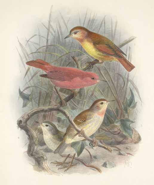 watercolor by John Gerrard Keulemans (June 8, 1842- December 29, 1912)