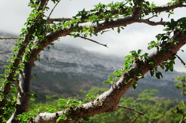 Socotra's frankincense branches