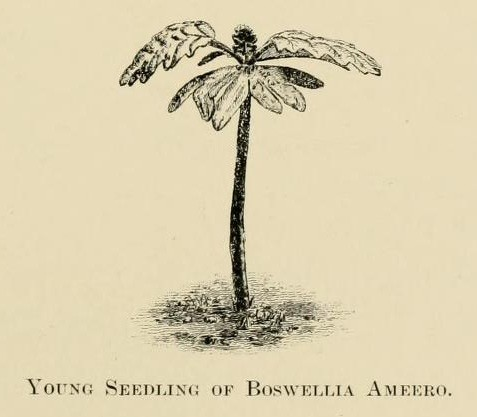 Boswellia ameero, another of Socotra's endemic frankincense trees
